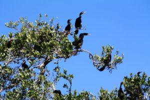 Fregattvögel auf der Vogelinsel in Sian Ka'an.
