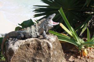 Leguan sonnt sich mit offenem Maul an der Maya Stätte in Tulum.