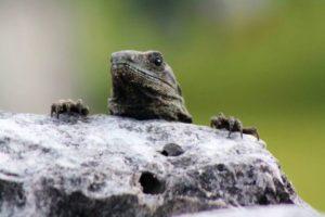 Kleiner Leguan hängt an einem Stein in El Rey.