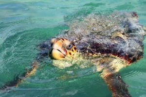 Schildkröte auf dem Weg nach Punta Allen